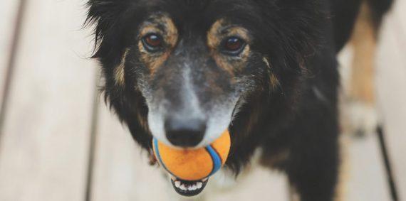 Los infaltables para tu perro adulto