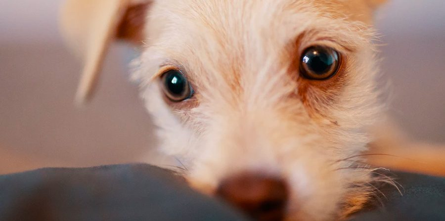 ¿Primer perro? Revisa lo que debes tener para recibir a tu cachorro