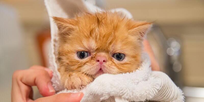bañar a un gato cachorro