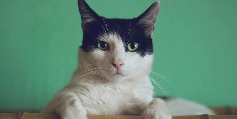 Bañar a un gato blanco y negro