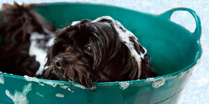 perro pequeño baño