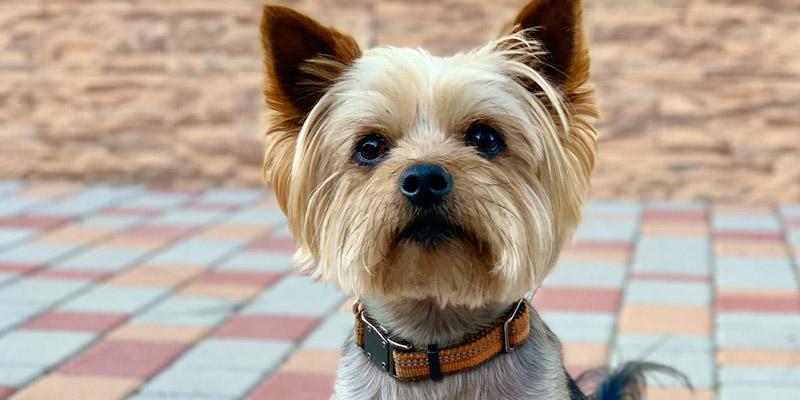 Yorkshire terrier peluquería canina