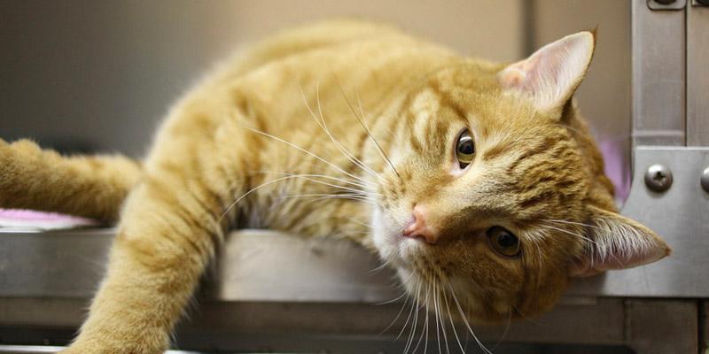 vacunas para tu gato mascotas Sodimac