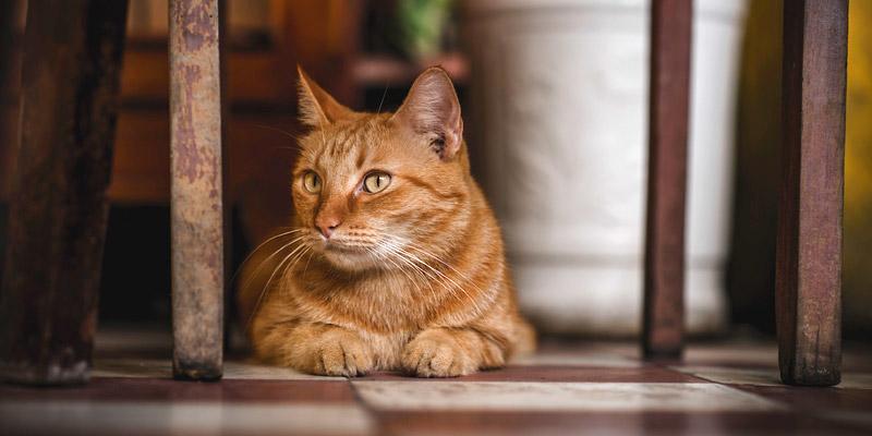 gato pelirrojo en casa