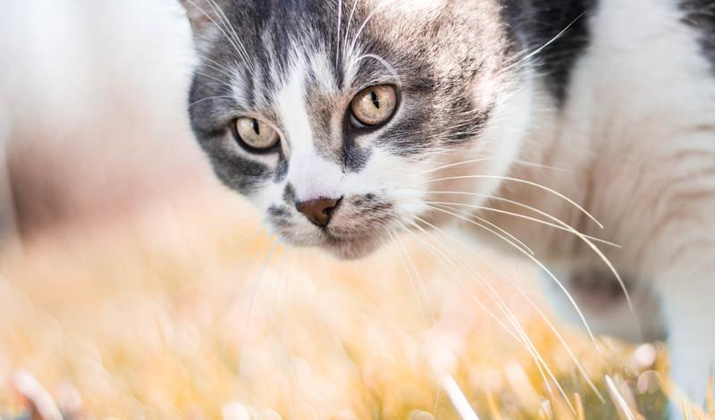 gato mascotas coronavirus