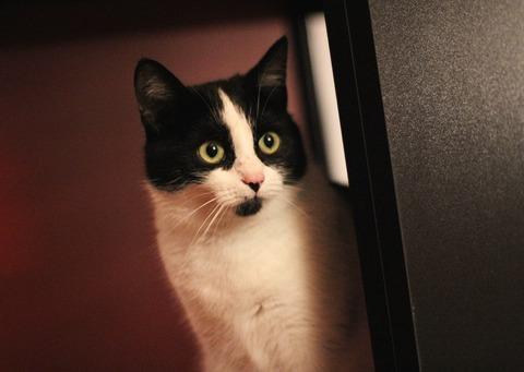 Revisa cada año las vacunas para tu gato