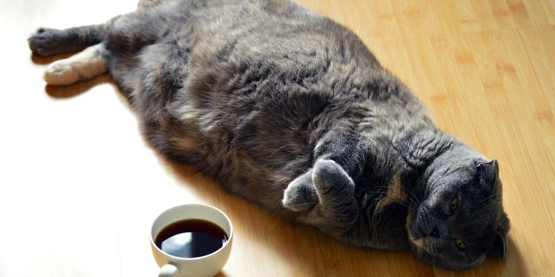 gato con obesidad sobrepeso