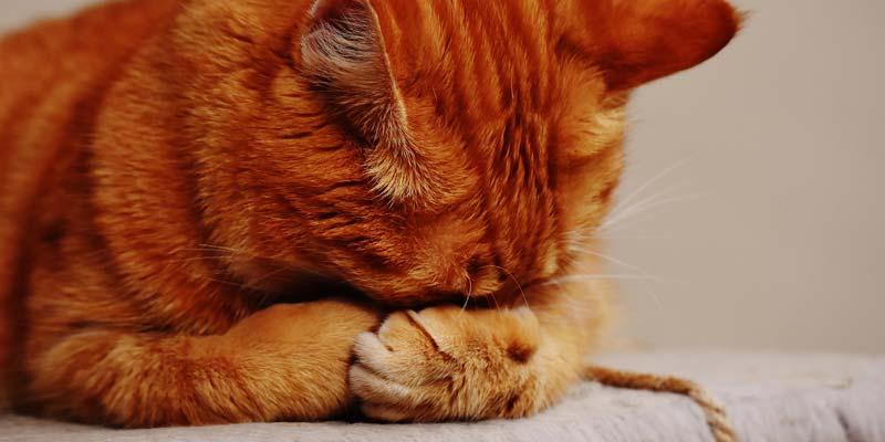 gato escondiendo cara