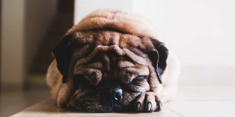 alimentación adecuada para controlar obesidad perros