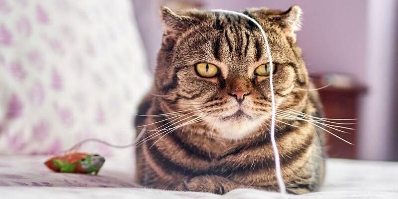 gato con sobrepeso y juguete