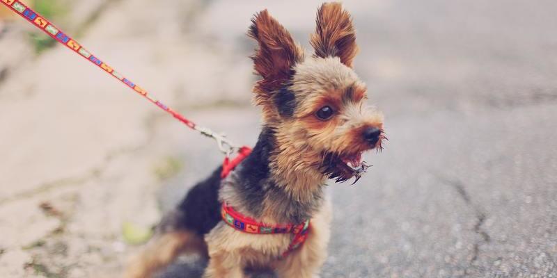 perro paseando con arnés