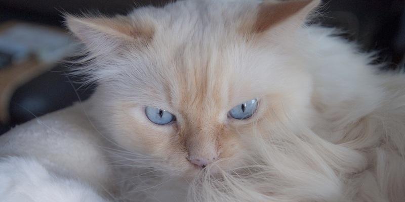 gato rubio muda de pelo