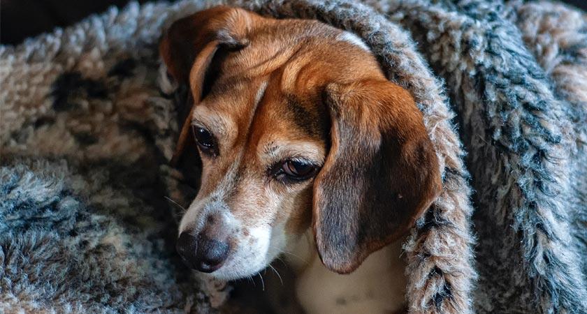¿Mi perro está resfriado? Aprende a detectarlo