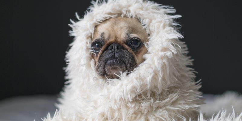 perro pug envuelto en manta