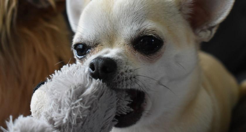 ¿Cómo enseñar a un cachorro a no morder? Mira acá las claves