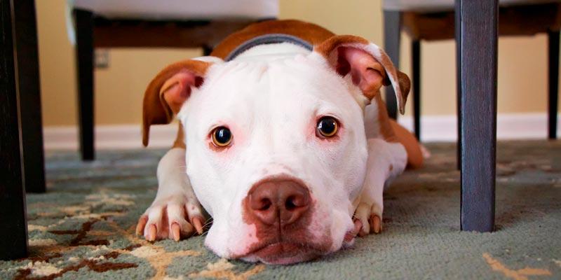 como calmar a un perro nervioso - pitbull