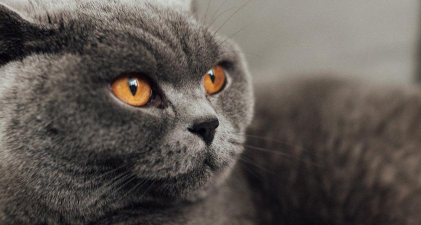 Gatos british shorthair: cuidados para ellos