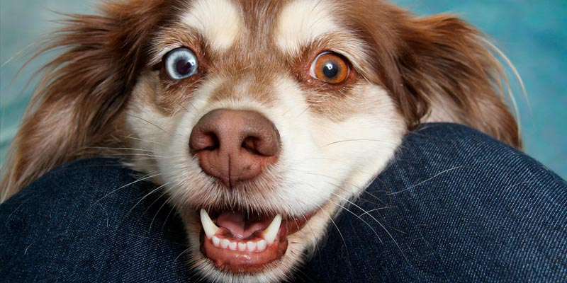 como calmar un perro nervioso - perro con heterocromía