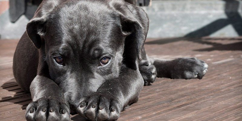 perro labrador negro en info como rastrear a mi perro con chip