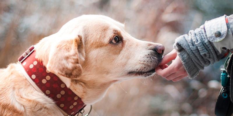 perro con collar en info como rasterar a mi perro con chip