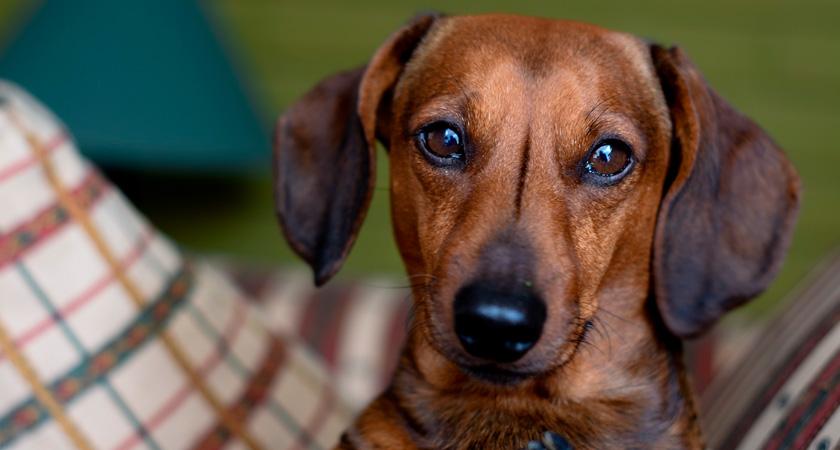¿Cómo cuidar a un perro dachshund o salchicha?