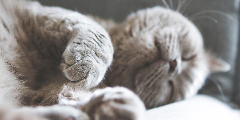 gato british shorthair