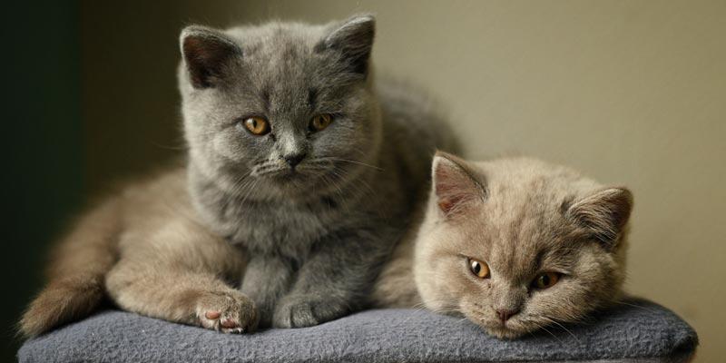 gatitos british shorthair