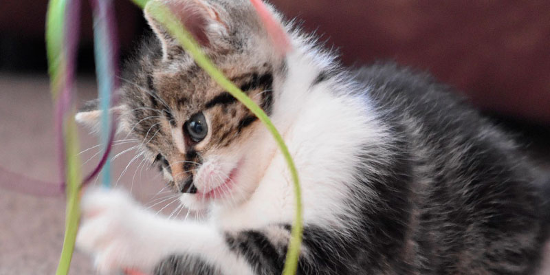 Accesorios gatos catnip chile - gato jugando
