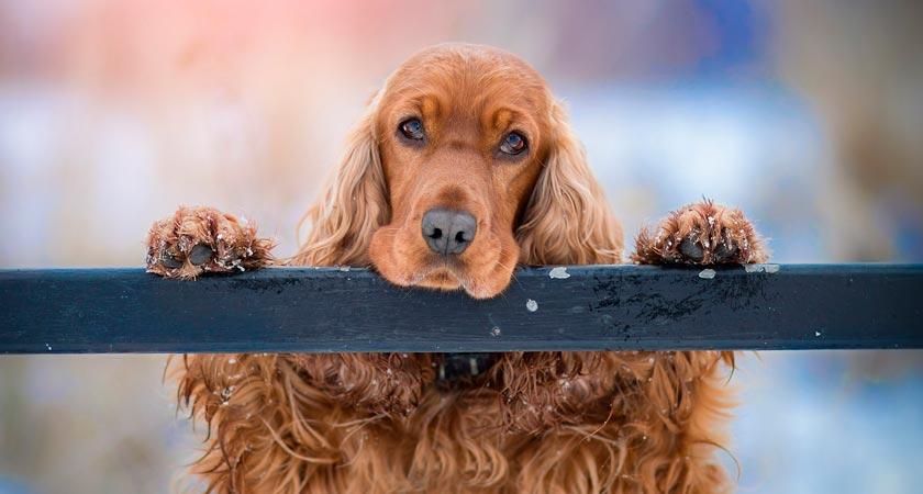 Cómo cuidar a un perro cocker spaniel inglés o americano