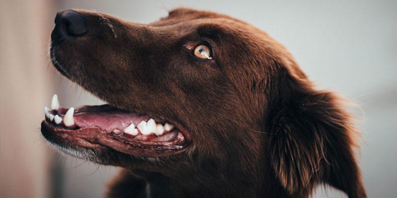 limpiar dientes de perro color chocolate