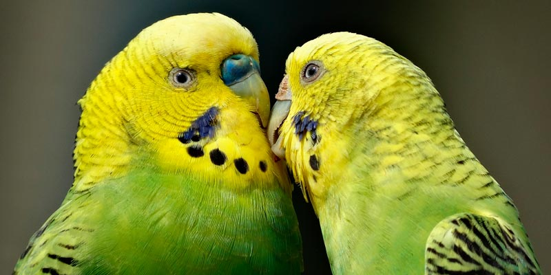 pareja de catitas australianas