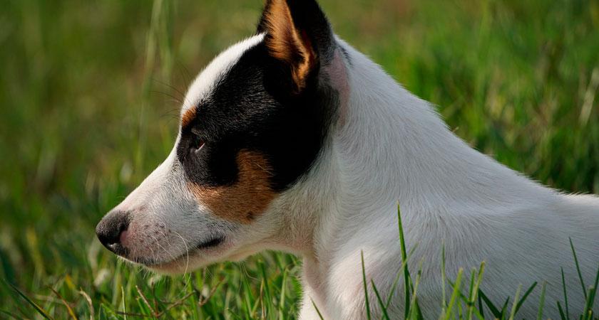 Conociendo más sobre la raza del fox terrier chileno