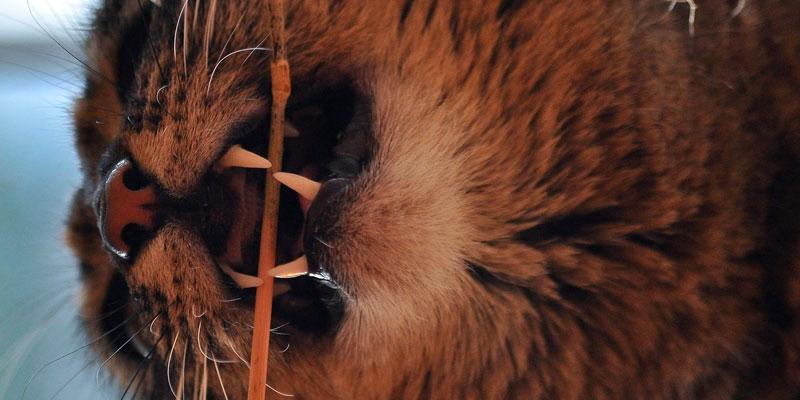 cuidados dientes gatos