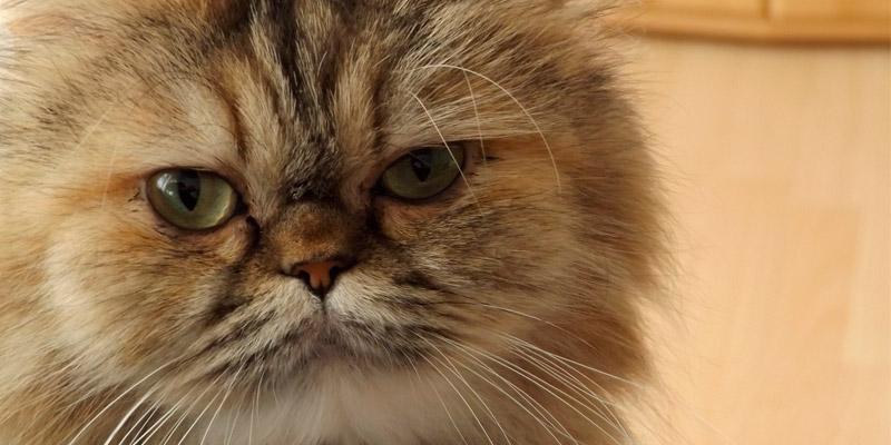 cara gato persa con rayas