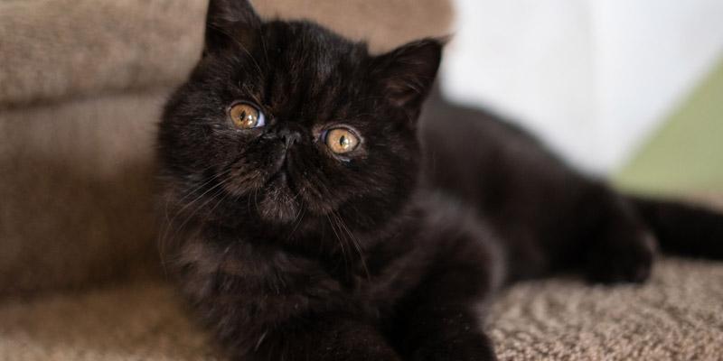 gato persa negro cuerpo entero acostado