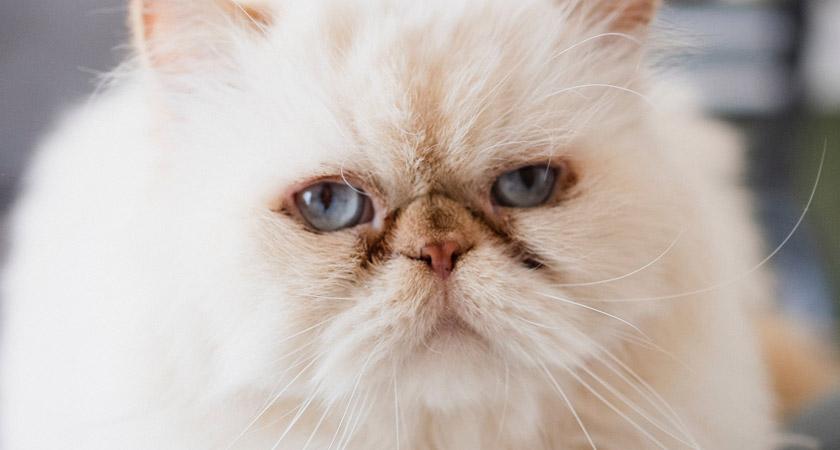 Descubre los encantos del gato persa y sus cuidados