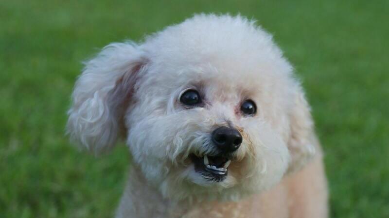 Conoce al perro poodle: de la aristocracia al corazón de la casa