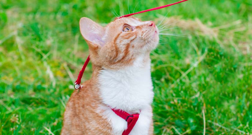 ¿Puedo sacar a pasear a mi gato? Mira los pros y contras