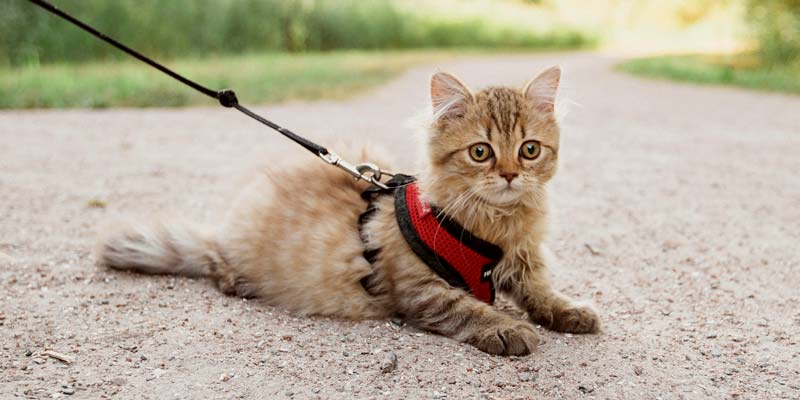 gato echado en el piso con su arnés