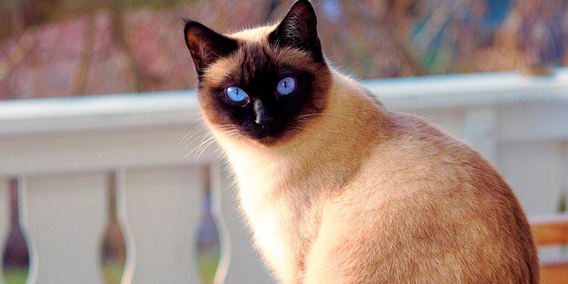 gato siamés chile sentado mirando a la cámara