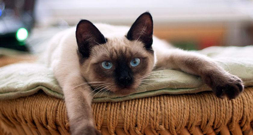 Conociendo al gato siamés: esbeltos y activos