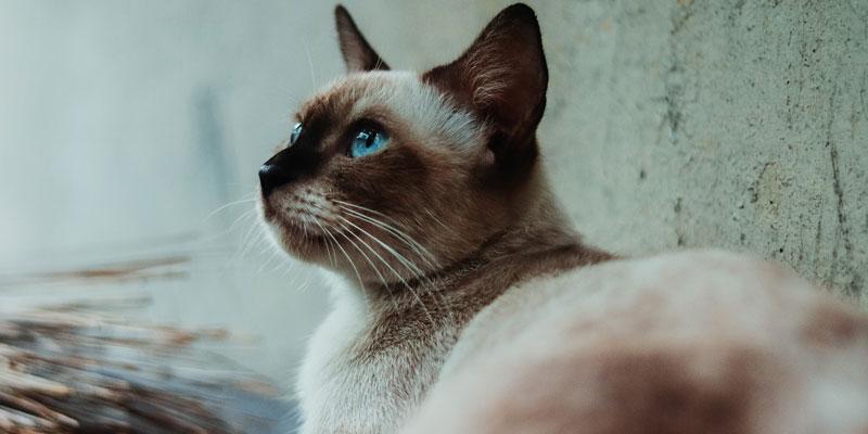 gato siamés echado mirando hacia arriba