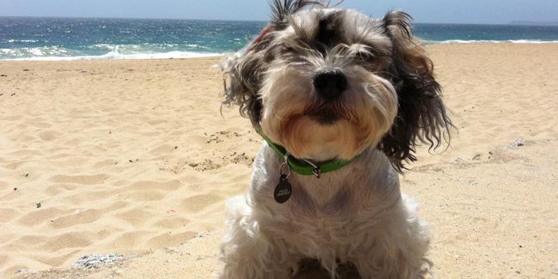 perrito pequeño en la playa-mascotas Sodimac