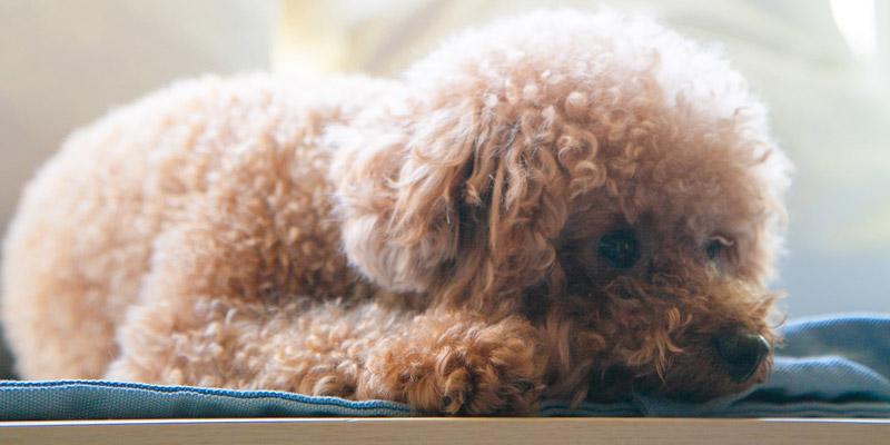 perro poodle café echado en el piso