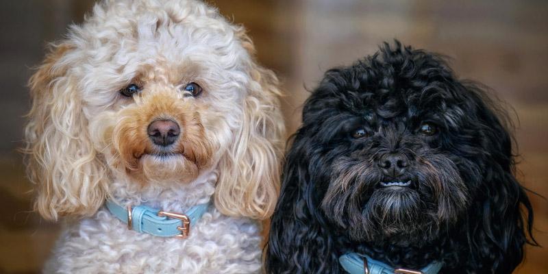 un perro poodle café y un poodle negro