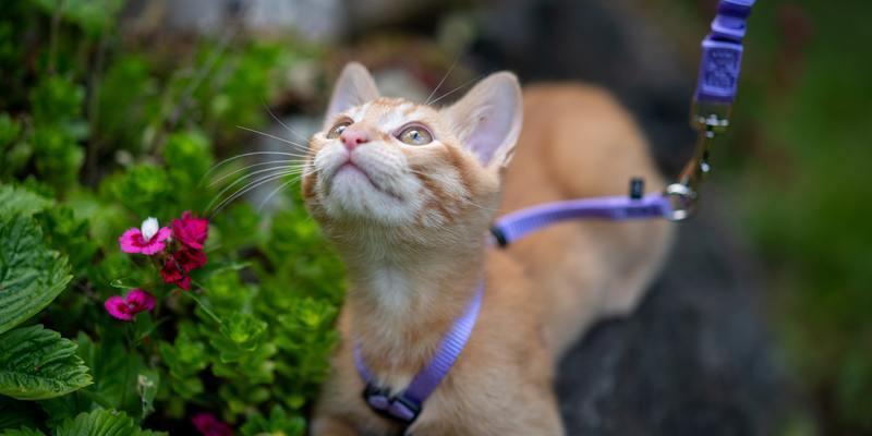 gato naranjo con arnés para pasear