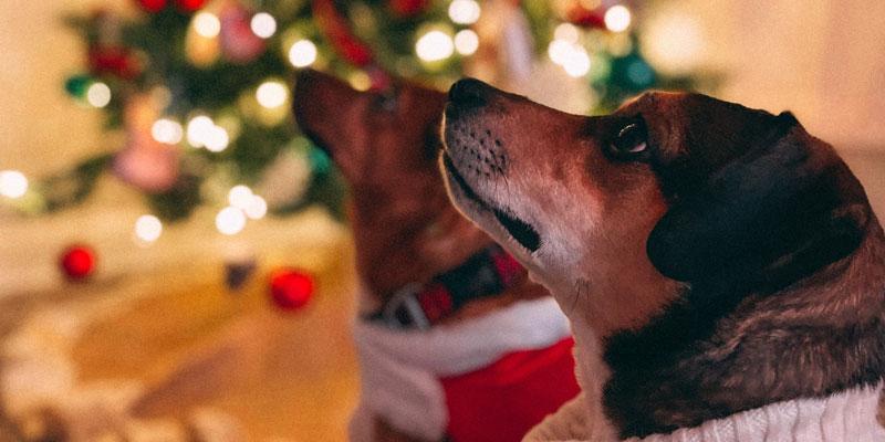 mascotas en navidad mirando hacia arriba
