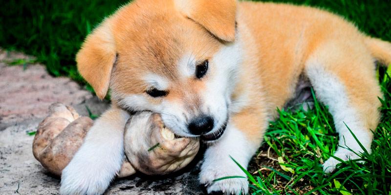 cachorro masticando hueso