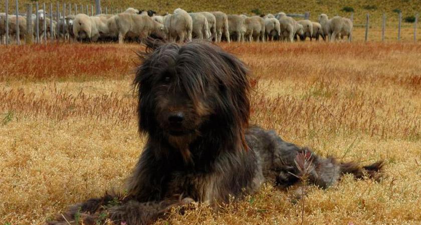 Conoce las dos nuevas razas de perros: ¡una es chilena!