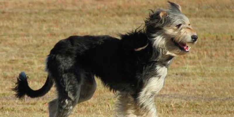 nueva raza de perro ovejero magallánico